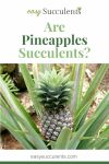 Are Pineapples Succulents? Read to Know What Research Tells Us Thumbnail