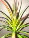 Purifying Red-edged Dracaena Succulents plants