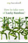 How to take care of Lucky Bamboo? Everything You Need to Know Thumbnail