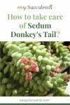 How to take care of Sedum Donkey's Tail? A Complete and Helpful Guide! Thumbnail