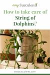 How to take care of String of Dolphins? Every Essential Question Answered Thumbnail