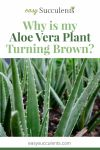 Aloe Browning, Mushing, and Wilting - Know the Reason and Protect Thumbnail